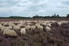 026-Sfeer-heide-schapen